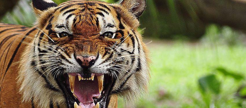 Aumenta la población de tigres en Madhya Pradesh - India